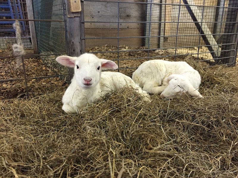 The FARM Institute has little lambs