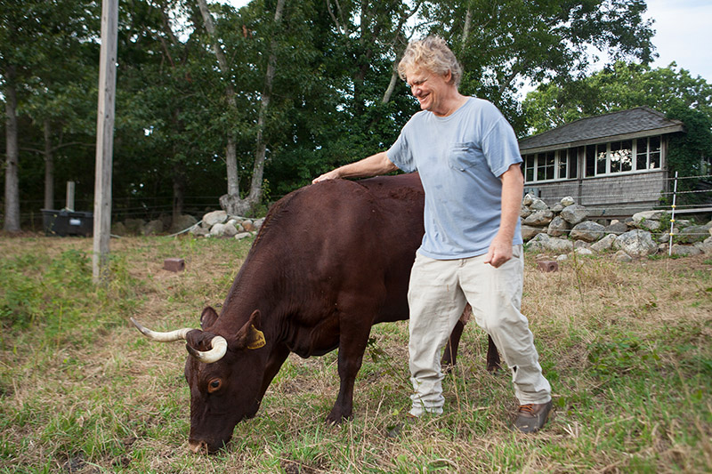 Historic cows come home to Chilmark