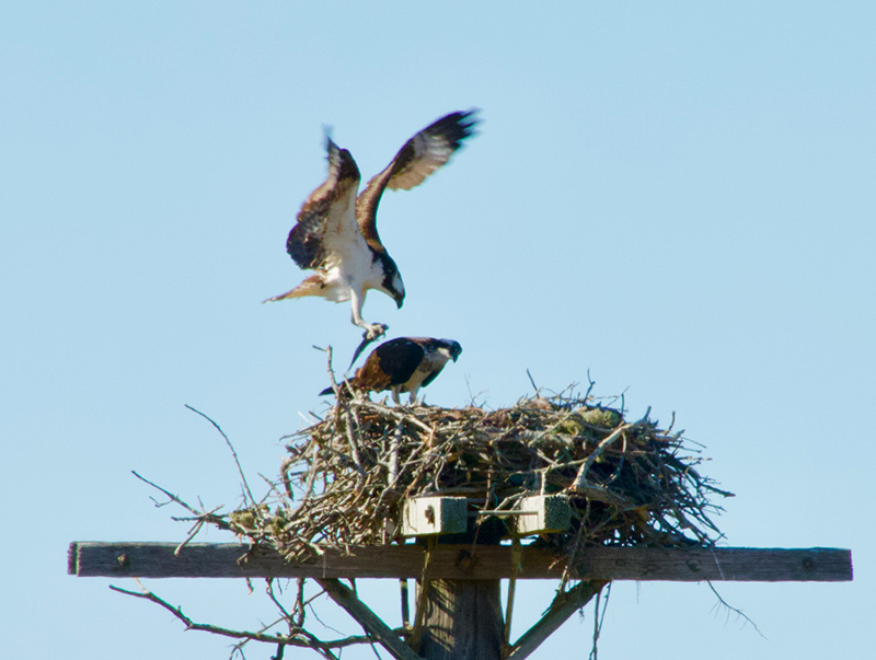 Ask the expert: What bird makes those big nests on top of poles around the Island?